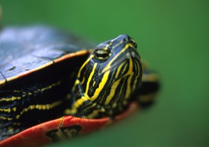 The Western Painted turtle is endangered along Canada's Pacific Coast. Image credit © LawrenceSawyer via iStock