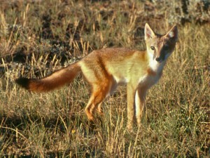 The Swift Fox is a threatened species and has been extirpated from its historical region in southern Alberta.  Image credit Swift Fox Recovery Program